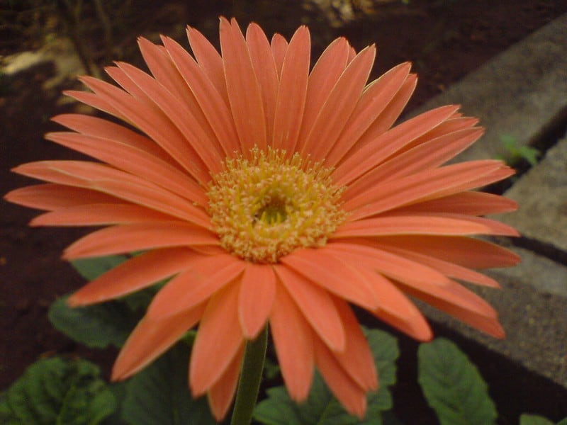 10 Barberton Daisy