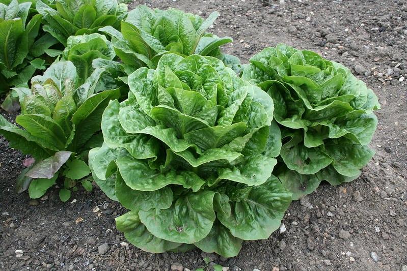 10 Lettuce