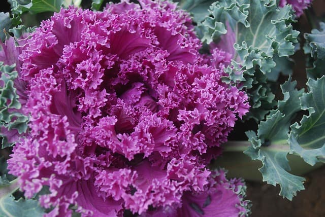 11 Ornamental Kale