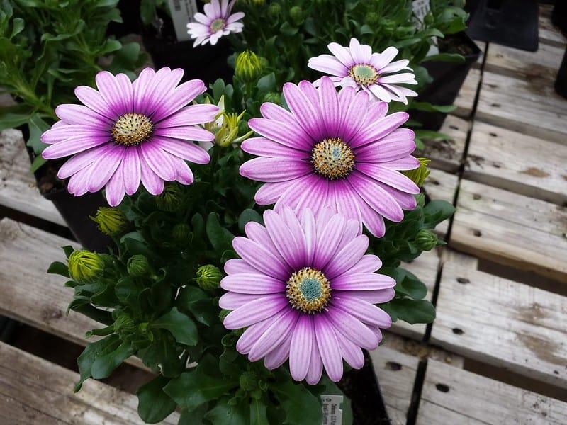 11 Osteospermum Daisy