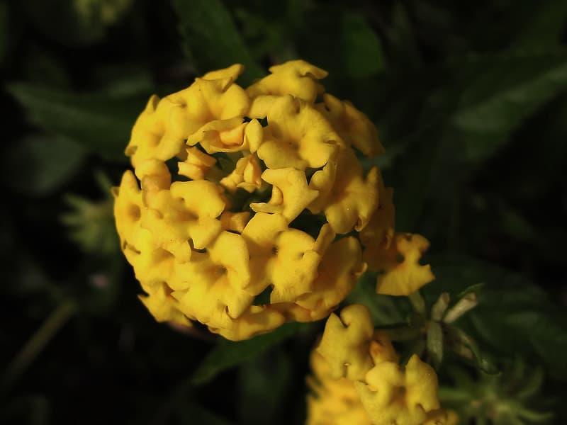 11 Pot of Gold Lantana