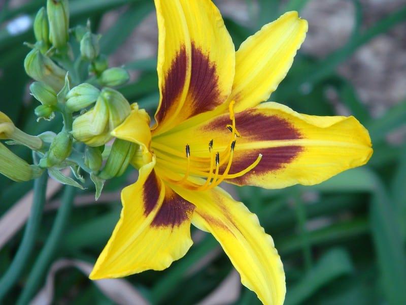 11 Robert Swanson Lily