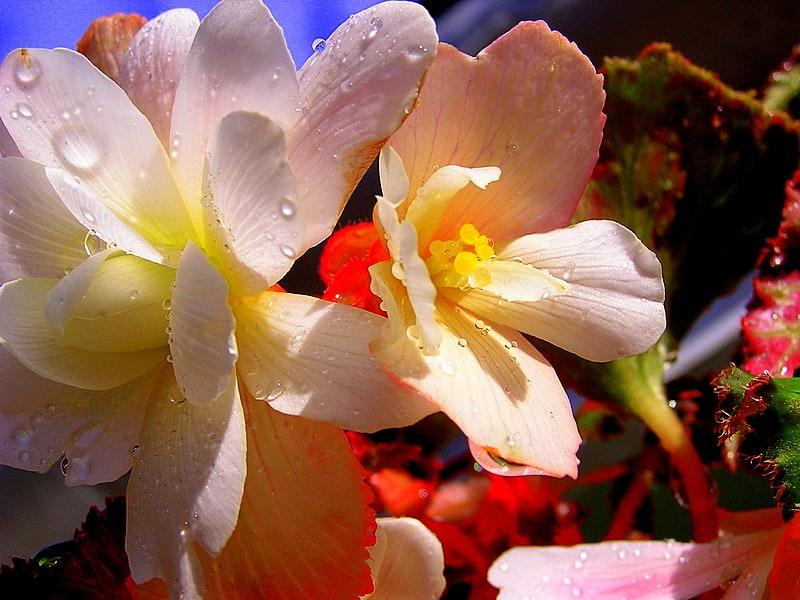 12 Begonias