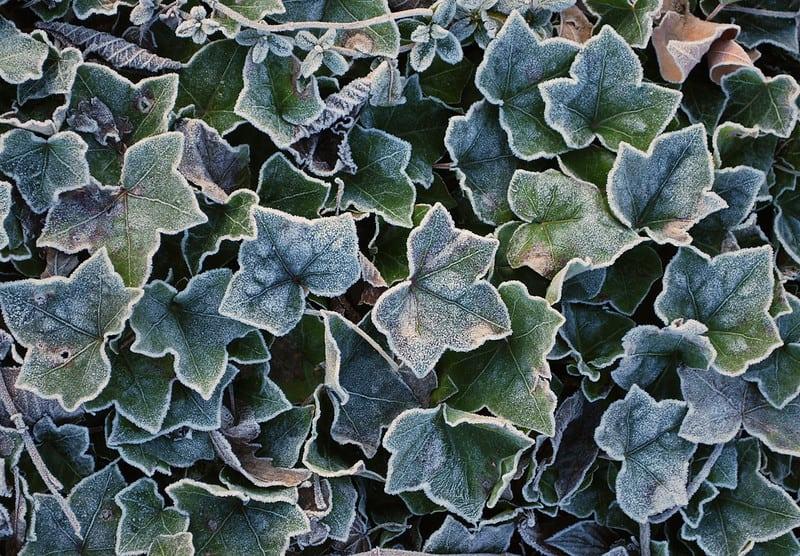 12 English Ivy