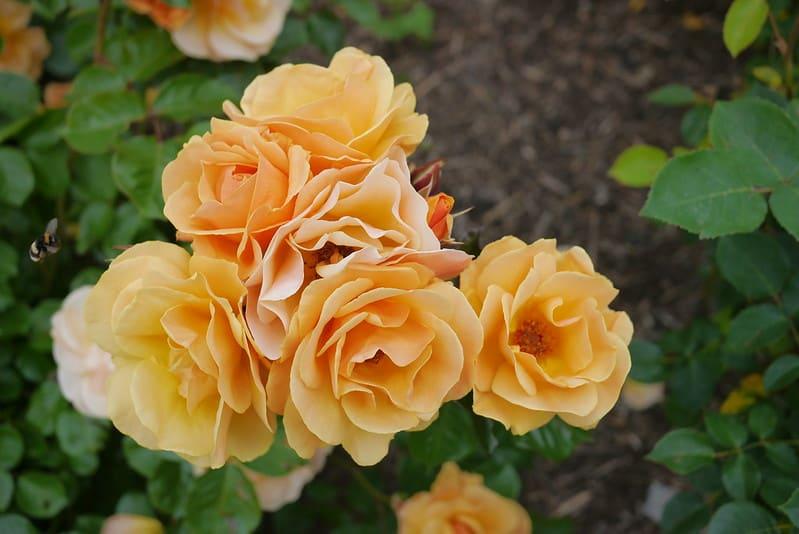 12 Flower Carpet Amber