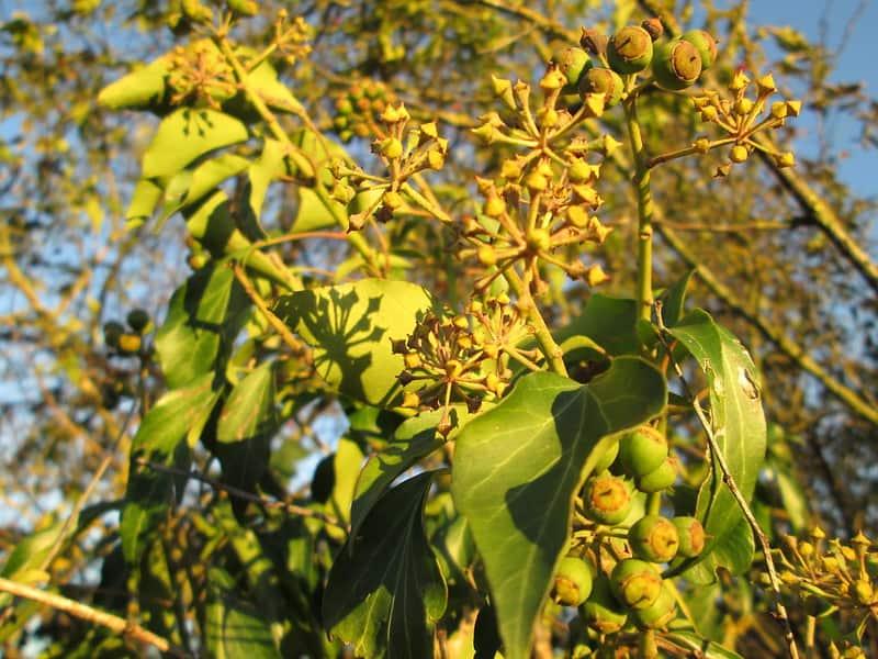 12 Golden Child Ivy