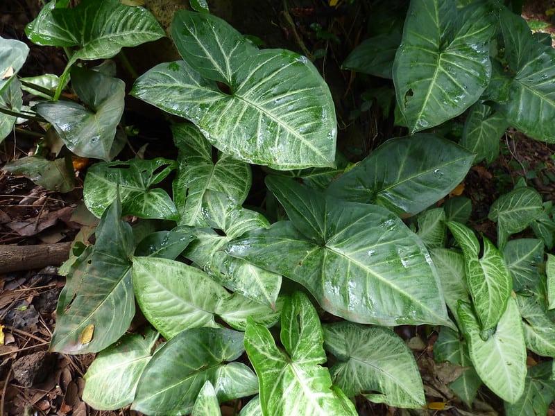 13 Arrowhead Plant