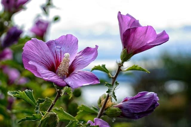 13 Hibiscus