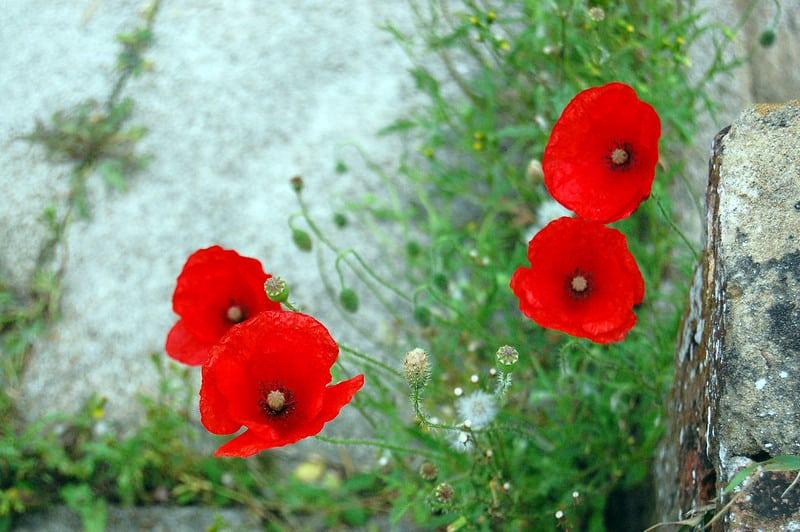 13 Poppies 1