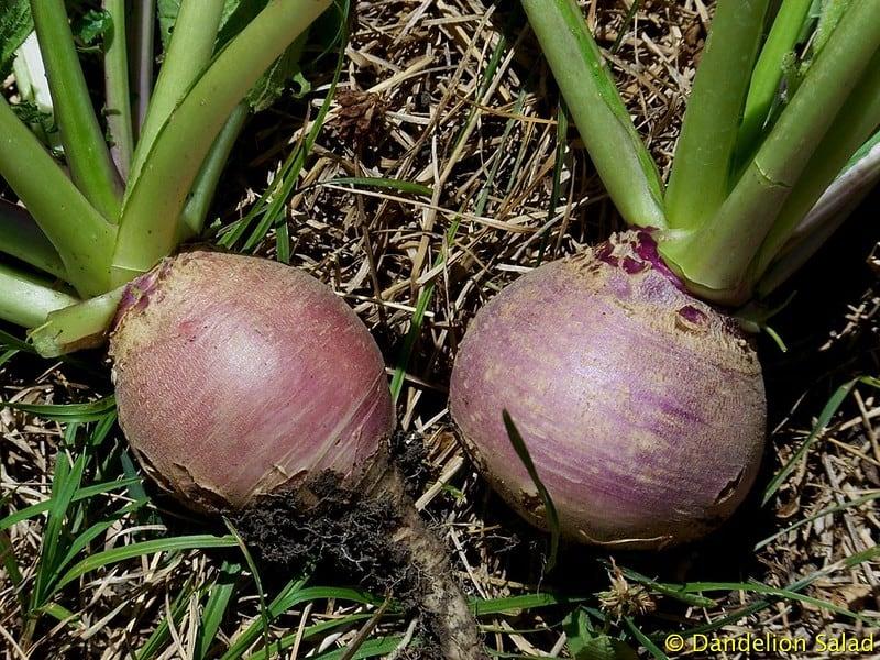 13 Turnips