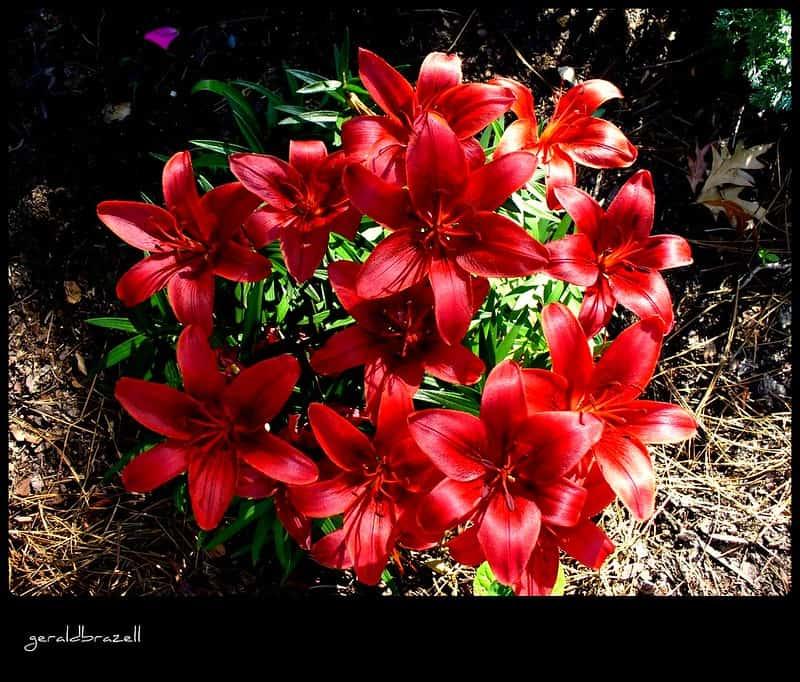 14 Blackout Lily