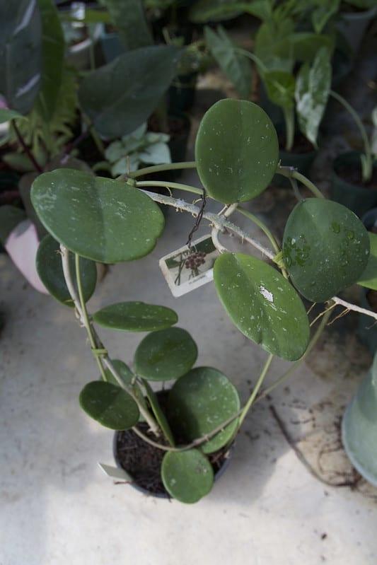 14 Hoya Obovata