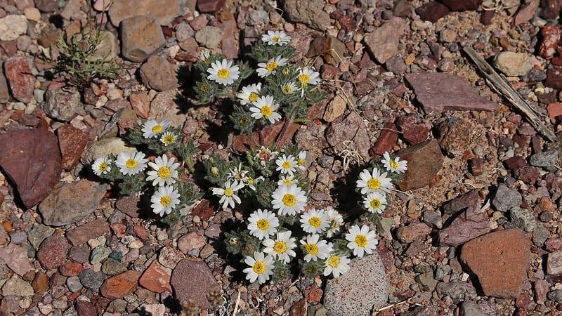 14 Mojave Desert Star Daisy