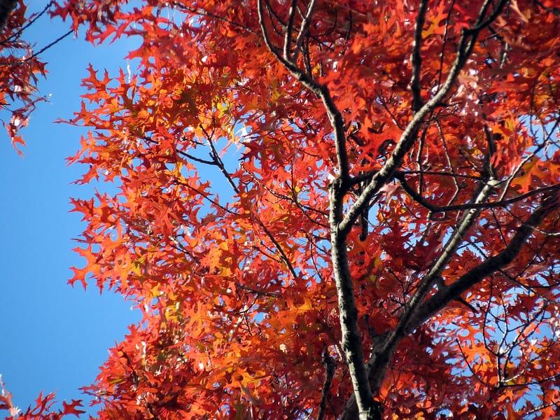 14 Scarlet Oak
