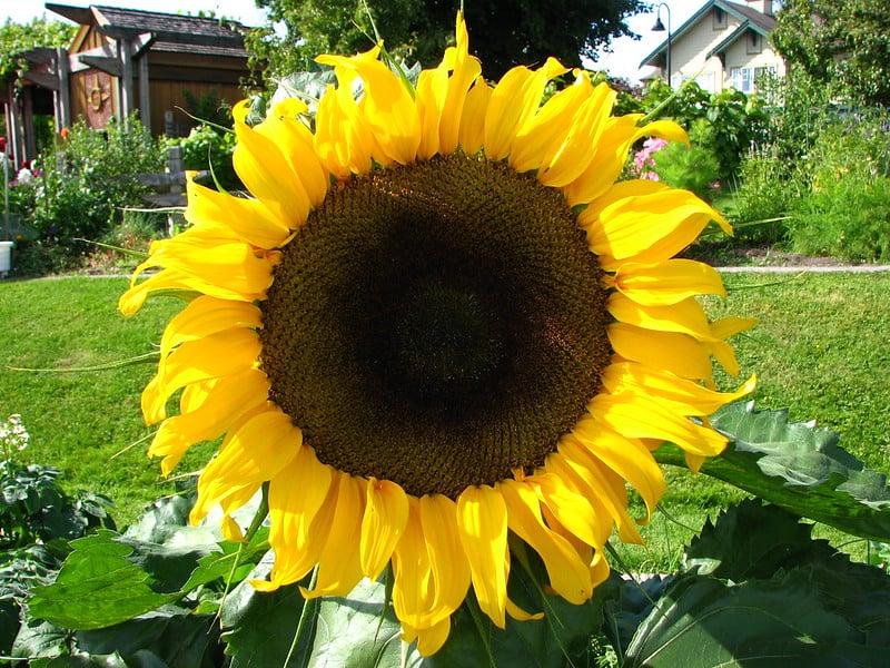 14 Sunflowers