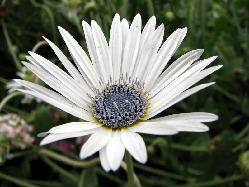 15 Blue Eyed Daisy