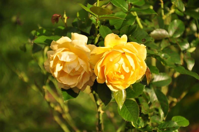 15 Julia Child Roses