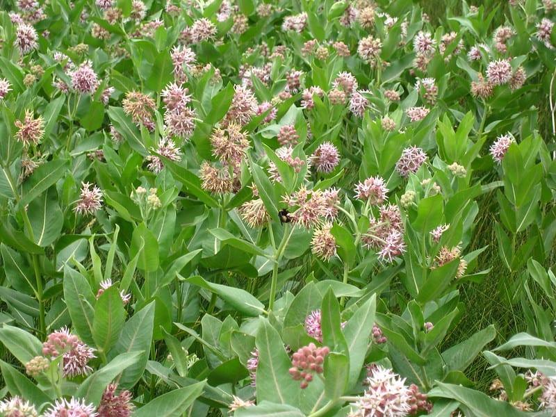 15 Milkweed