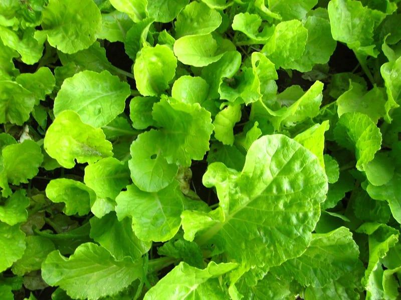 15 Mustard Greens