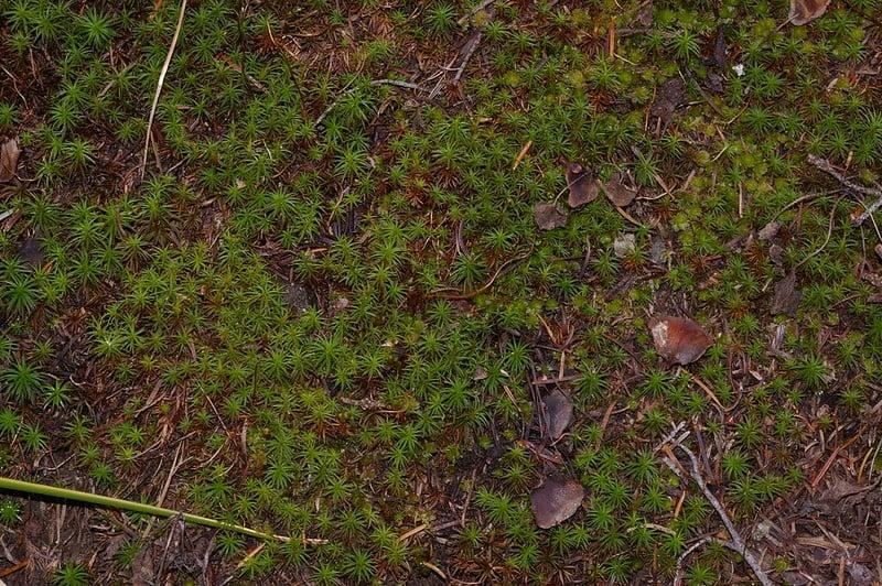 15 Polytrichum Juniperinum