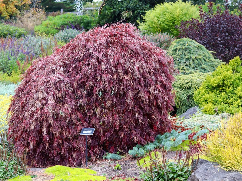 15 Weeping Japanese Maple