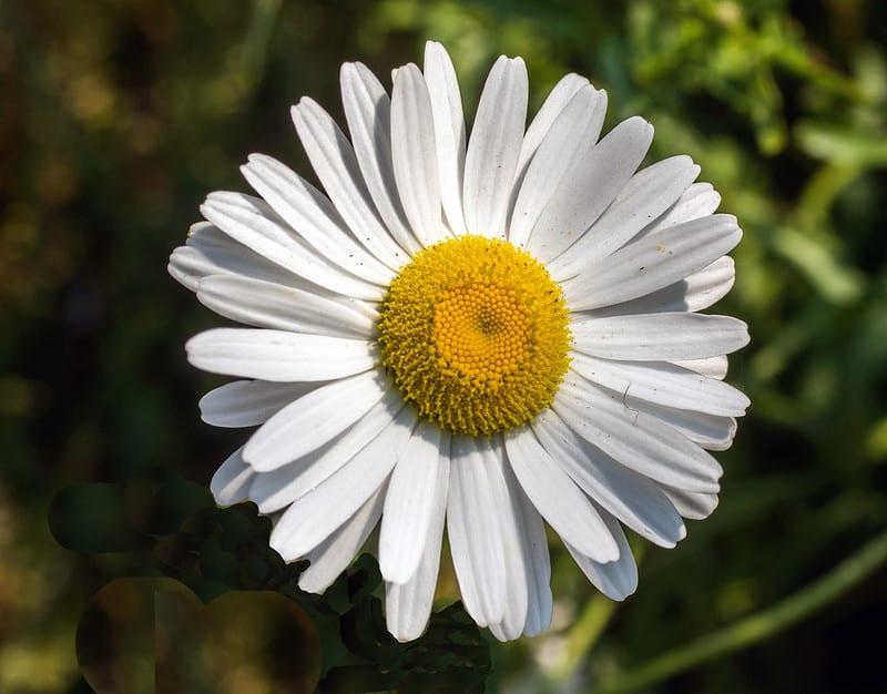 16 Annual Daisy