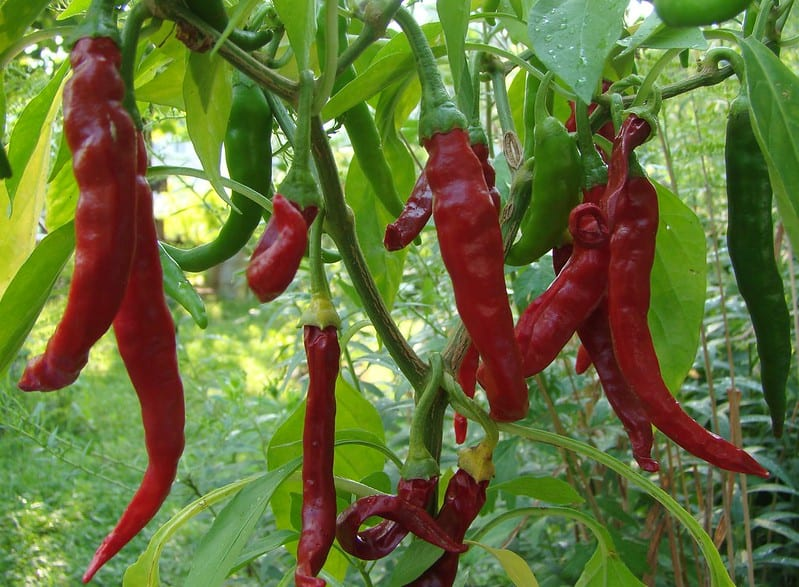 16 Thai Peppers