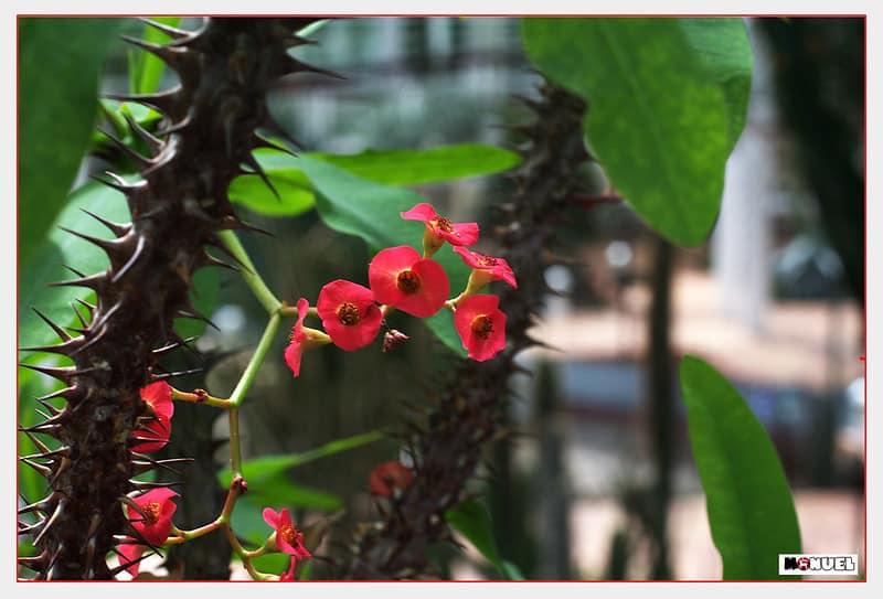 17 Euphorbia Milii