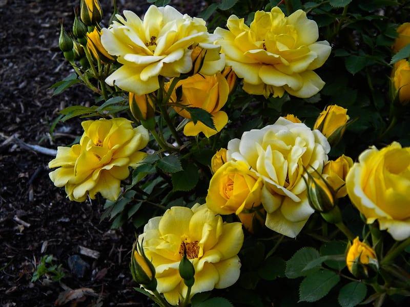 17 Lemon Roses