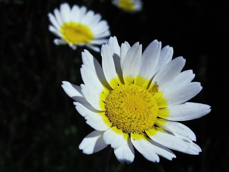 18 Crown Daisy