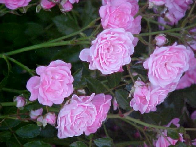 19 Fairy Rose