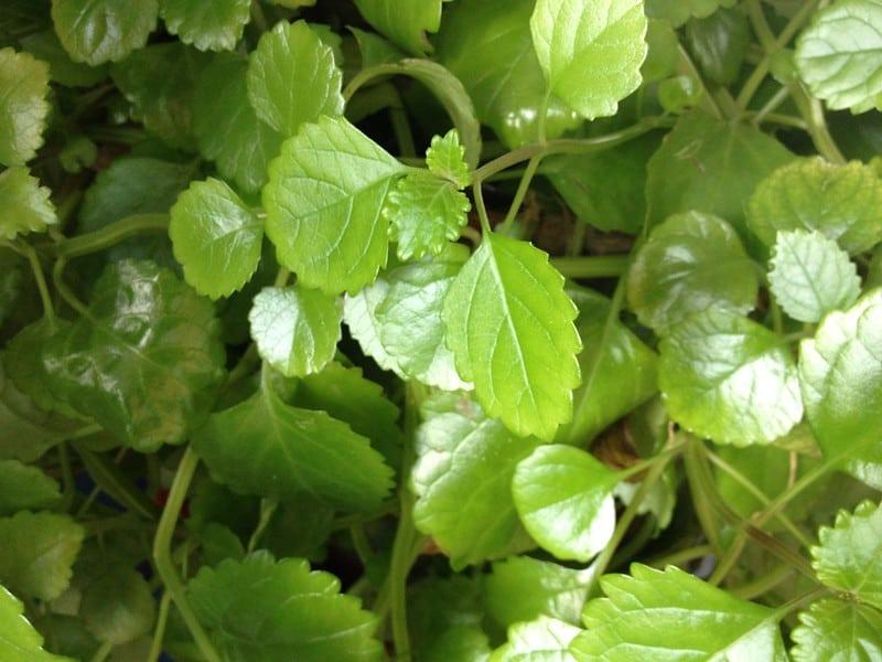 19 Swedish Ivy