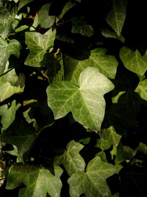 19 Tripod Ivy