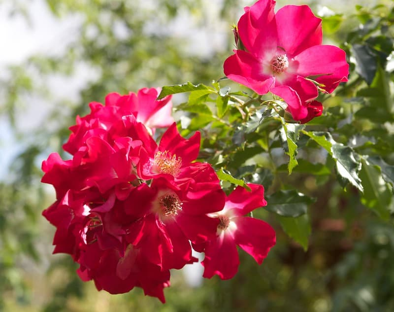 2 Dortmund Rose