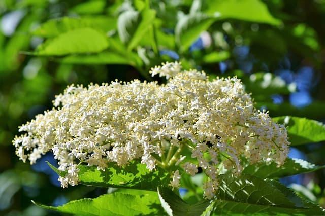 2 Elderberry Flowers