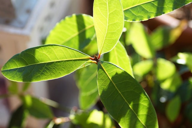 2 For many people the useful foliage of the bay laurel plant is the main draw