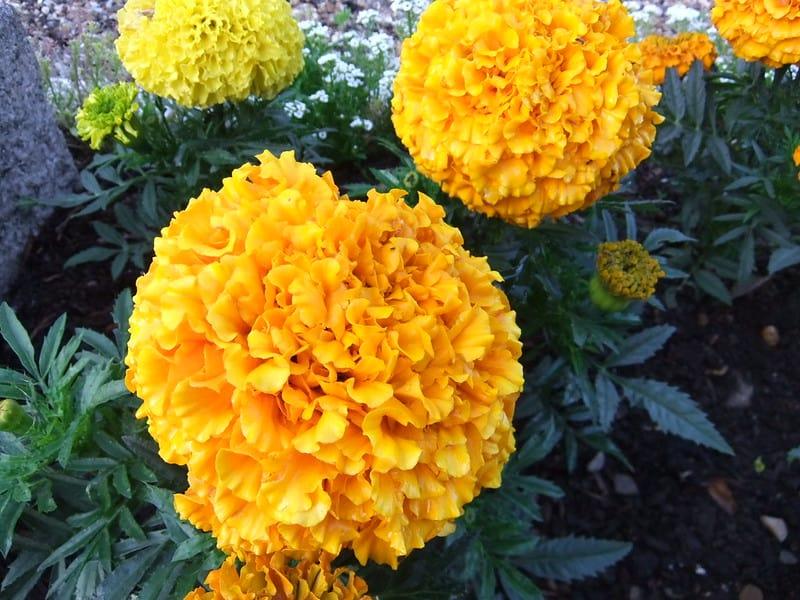 2 Marigolds 1