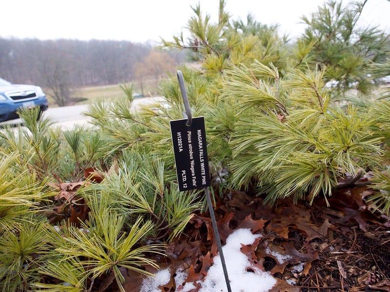 2 Weeping Eastern White Pine