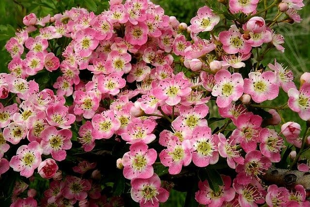 2 While May flowers are typical white some cultivars produce attractive pink or red blooms