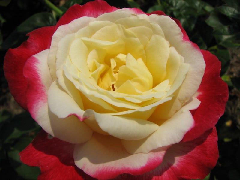 20 Double Delight Rose