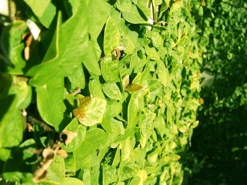 20 Golden Curl Ivy