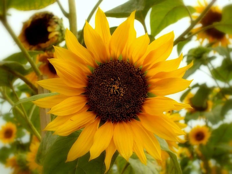 22 Sunflowers