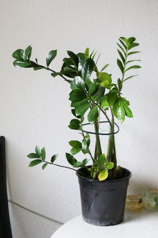 22 Zamioculcas Zamiifolia