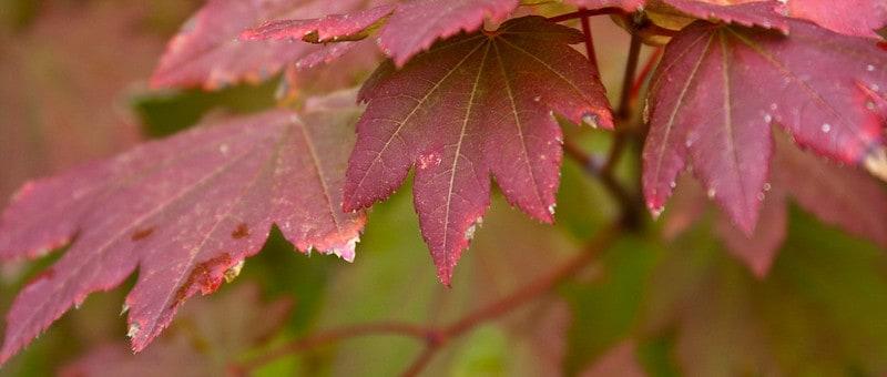23 Vine Maple