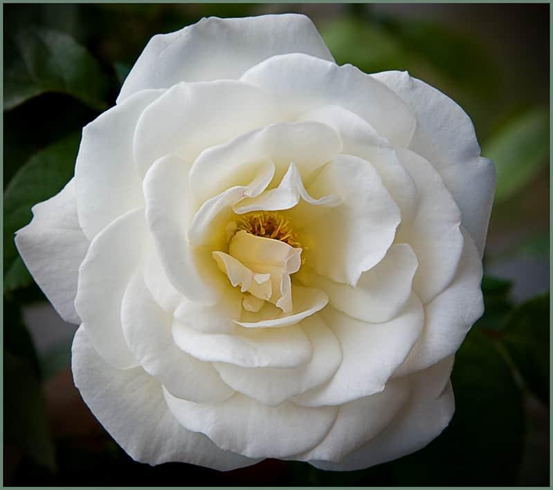 25 Iceberg Rose
