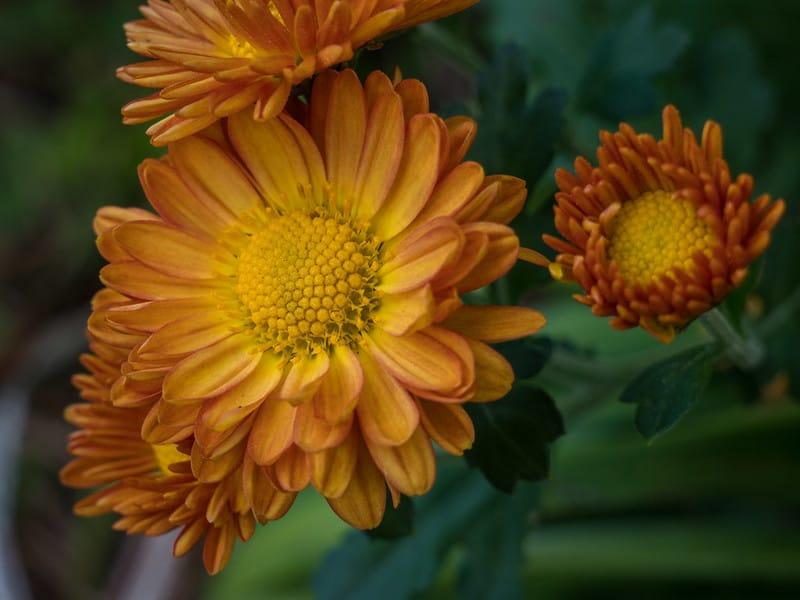 25 Indian Chrysanthemum Daisy