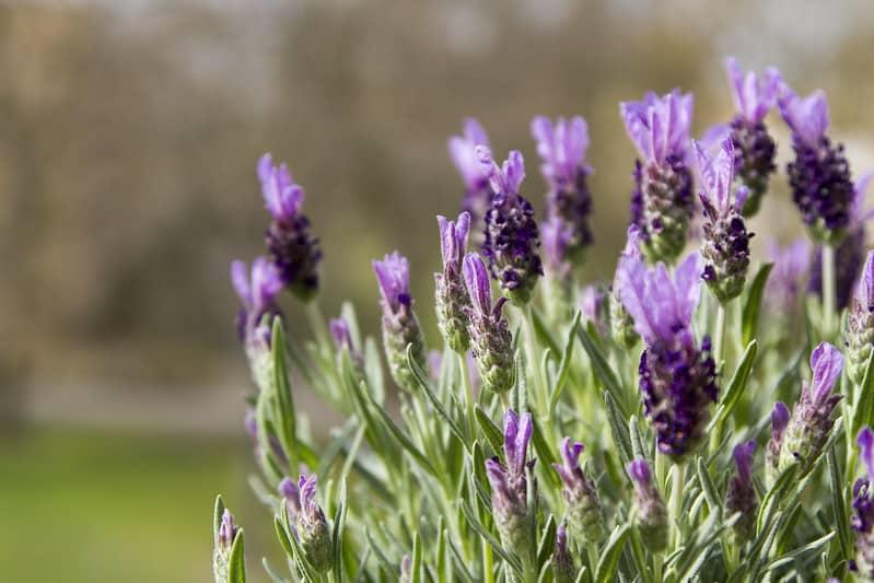 25 Lavender