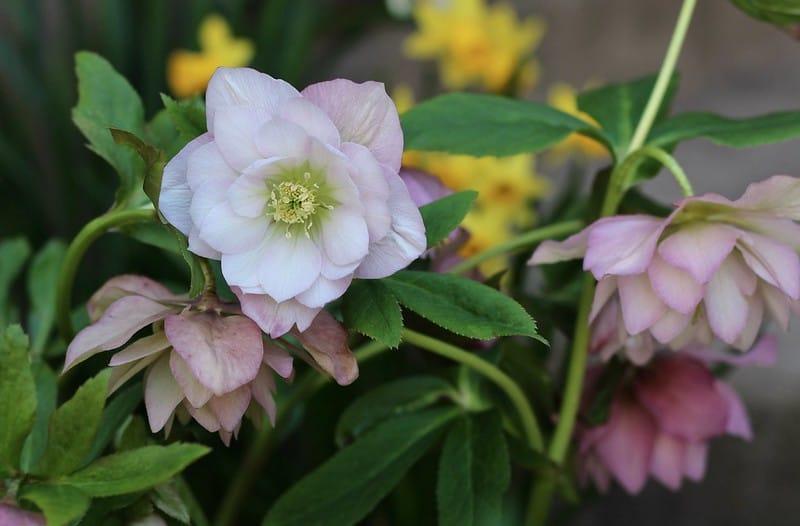28 Lenten Rose