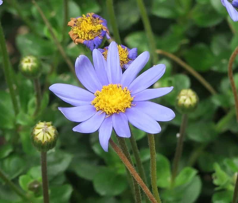 3 Blue Margureite Daisy
