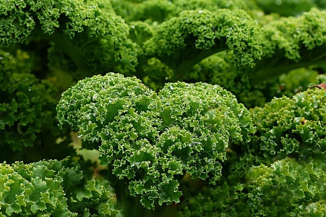 3 Curly Kale